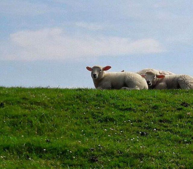 Entspannen deich schafe sheep nordseecalling nordsee northsea insel inselfeeling timetorelaxhellip